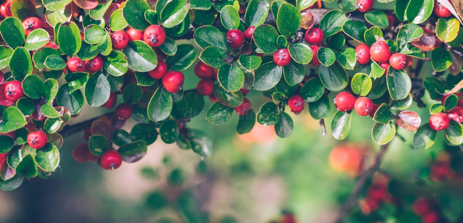 Red autumn berries of red Firethorn. Autumn beautiful background royalty free stock images