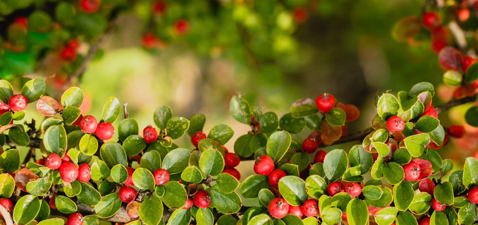 Red autumn berries of red Firethorn. Autumn beautiful background stock photos