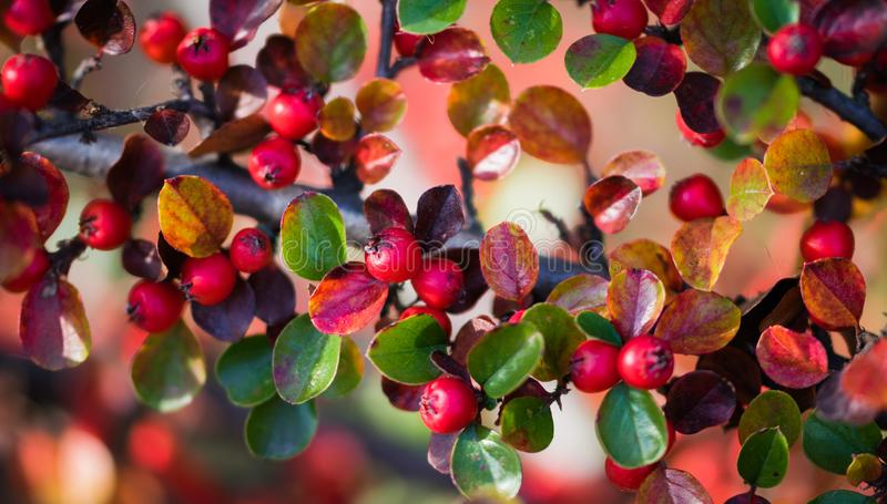 Red autumn berries of red Firethorn. Winter beautiful background royalty free stock photography