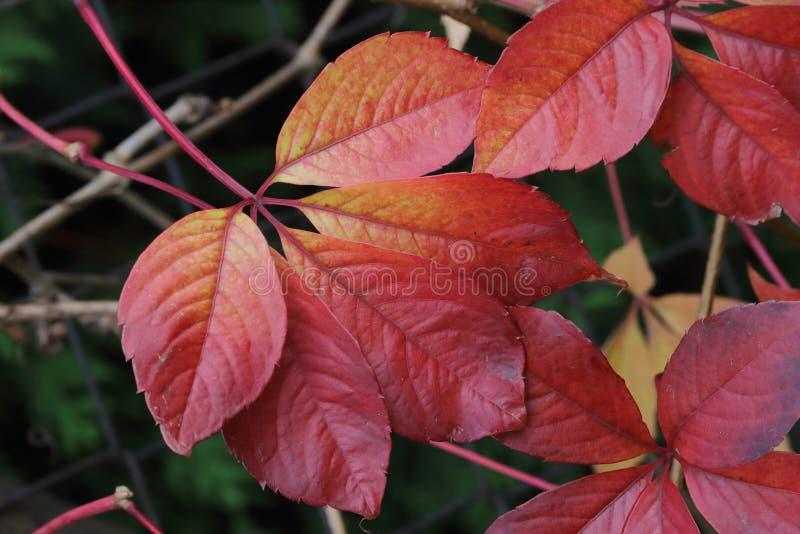 Autumn foliage red stock photos