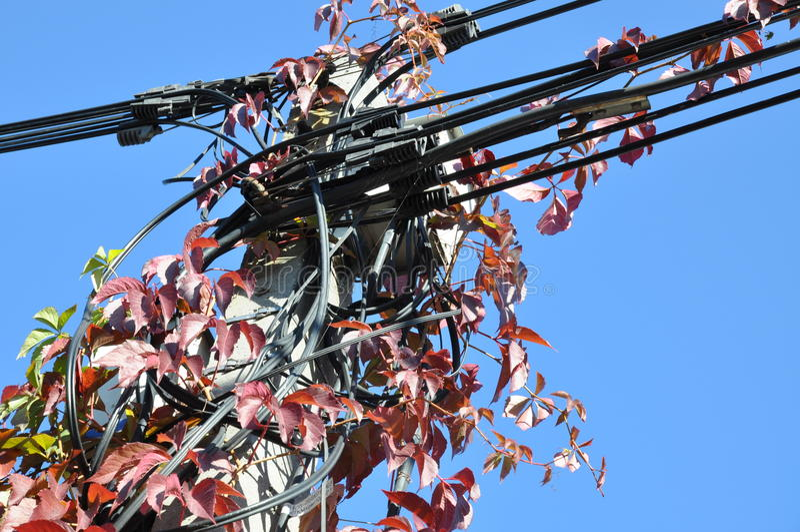 Red autumn ivy. On telecom pole stock photo