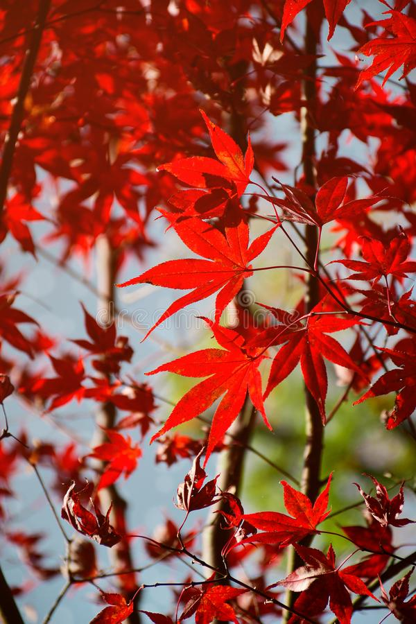 Red autumn Japanese maple leaves stock image