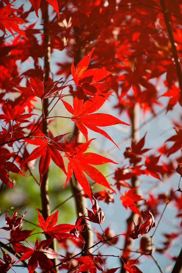 Red autumn Japanese maple leaves royalty free stock photos