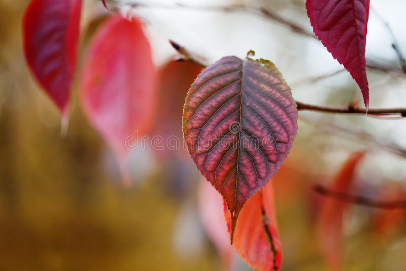 Red autumn leaf closeup. October park scene with tree branch. Soft focus. Shallow depth of field. stock photo