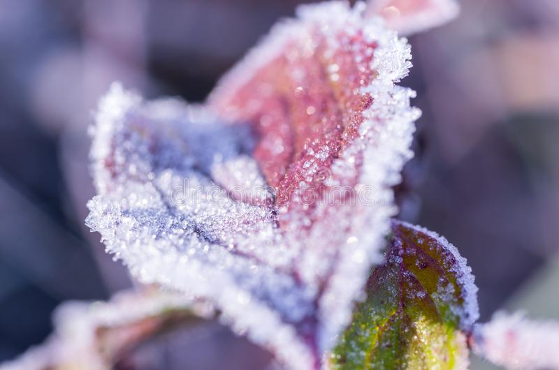 Red autumn leaf in frost. Macro photo of an autumn leaf. royalty free stock photo