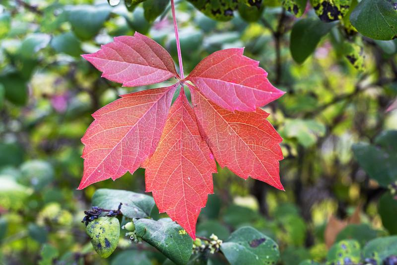 Red autumn leaf on a green background. Autumn, November, October, September beautiful stock photo