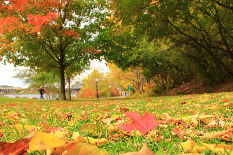 Red autumn leaf. Way in a park. Autumn in Canada stock image