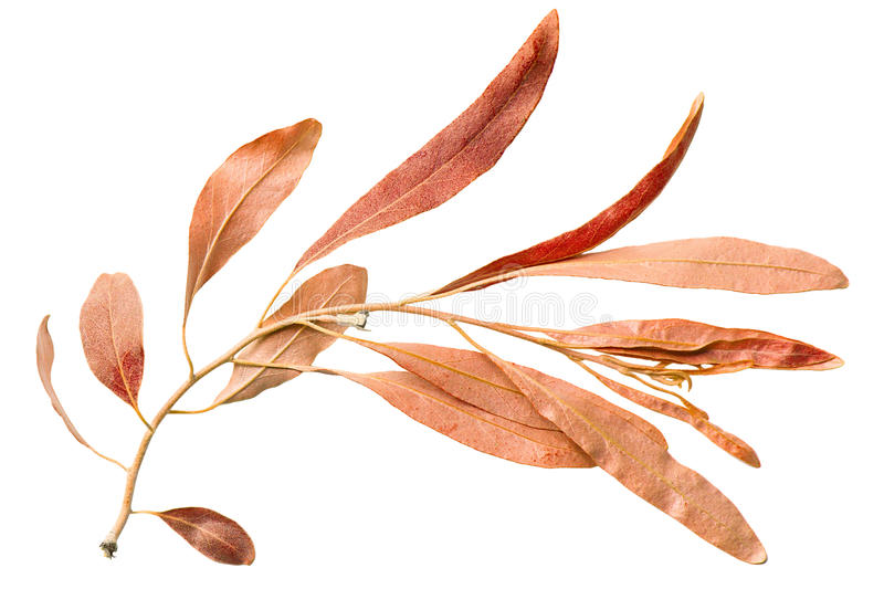 Download Red Autumn Leaf Willow On White Backgroun Stock Image - Image: 25304319