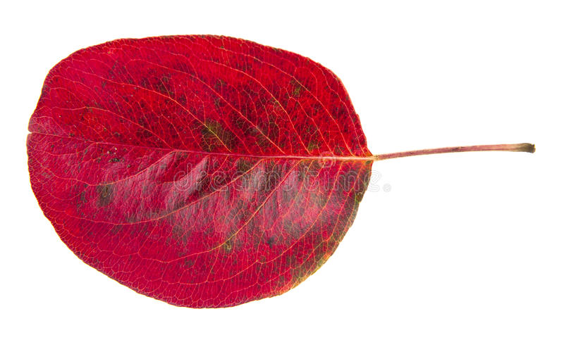 Red autumn leave royalty free stock photo
