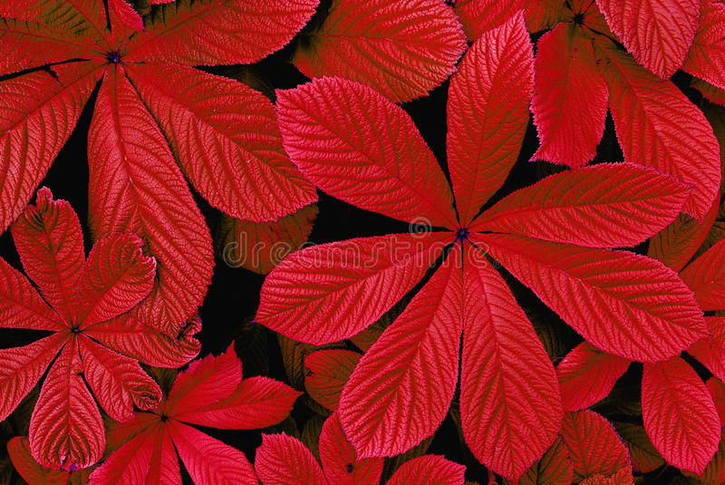Red autumn leaves. Closeup of red autumn leaves foliage stock images
