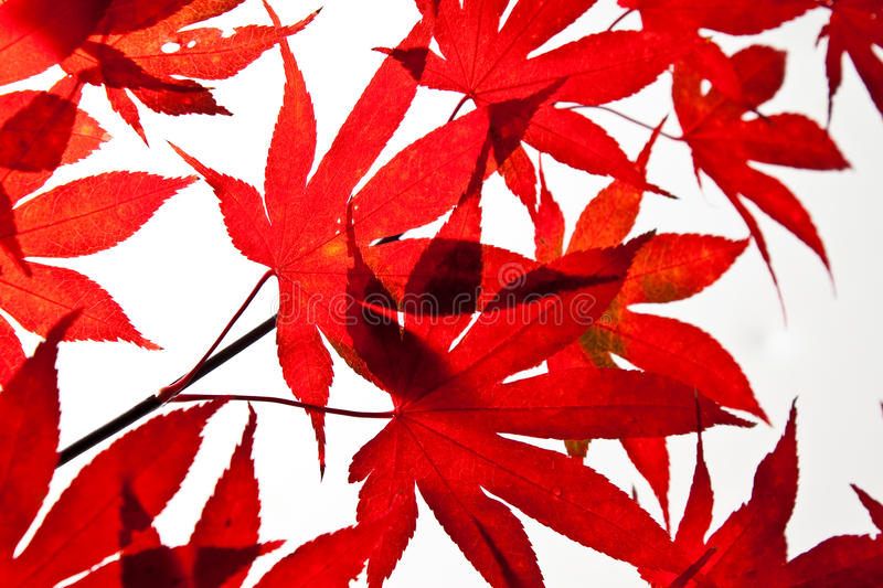 Download Red Autumn Leaves Stock Photo - Image: 15757860