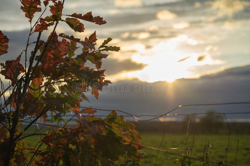 Red autumn leaves in the backlight of the setting sun. stock photos