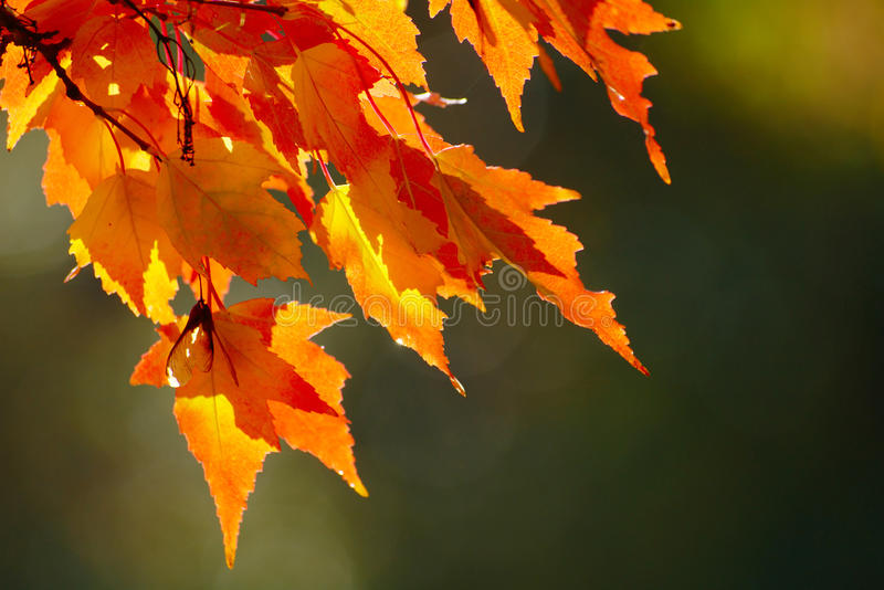 Download Red Autumn Leaves stock image. Image of warm, nature - 45229895