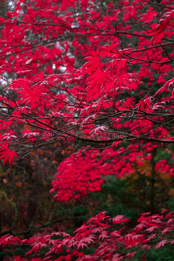 Red Autumn Leaves in the Pacific Northwest stock images