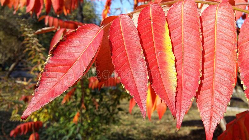 Red autumn leaves. In the park royalty free stock image