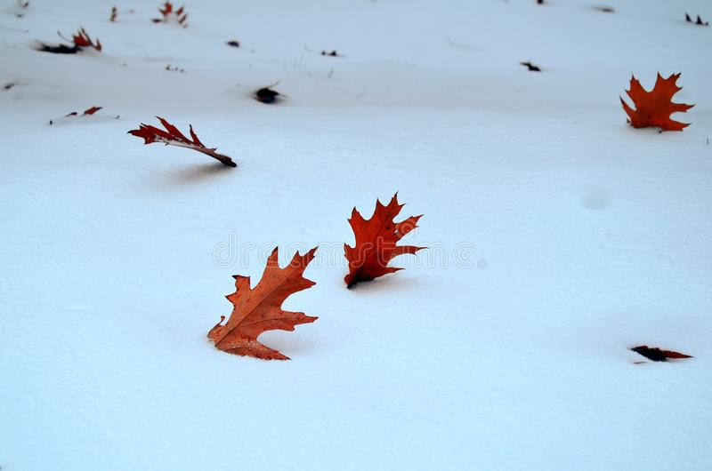 Red autumn leaves in snow. royalty free stock photo