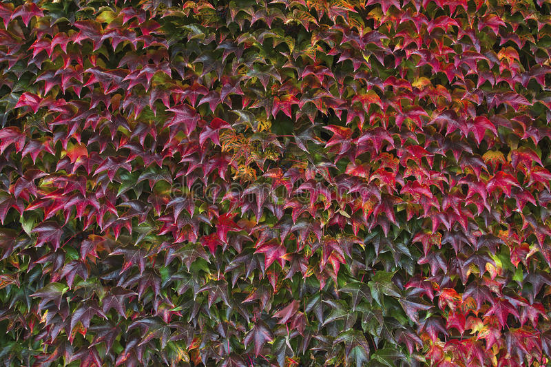 Red autumn leaves on a wall, background. royalty free stock image