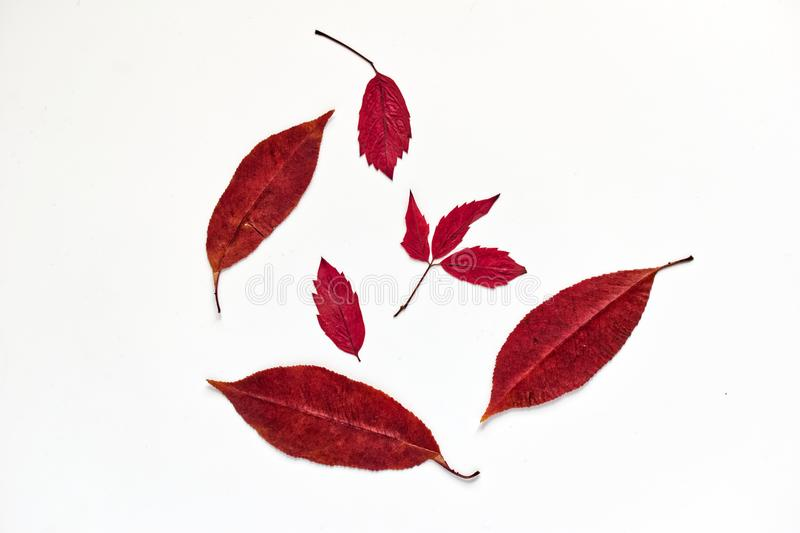 Red autumn leaves on a white background royalty free stock images