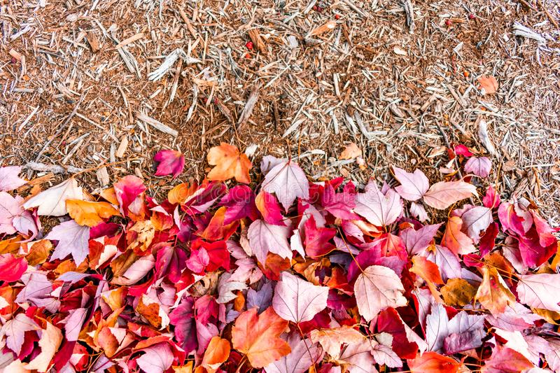 Red Autumn Maple Leaves with Wood Mulch royalty free stock photos
