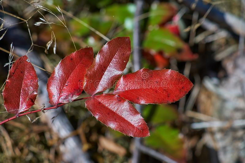 Red Autumn Oregon Holly Leaves. Close Up Of Red Holly Leaves, Mahonia aquifolium, Orego Grape Holly, Shot In A Forrest In Autumn On A Bright Sunny Day stock photography