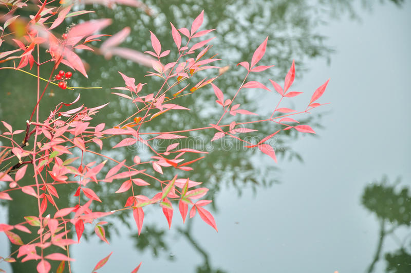 Red autumnal leaves in Humble Administrator's Garden royalty free stock image