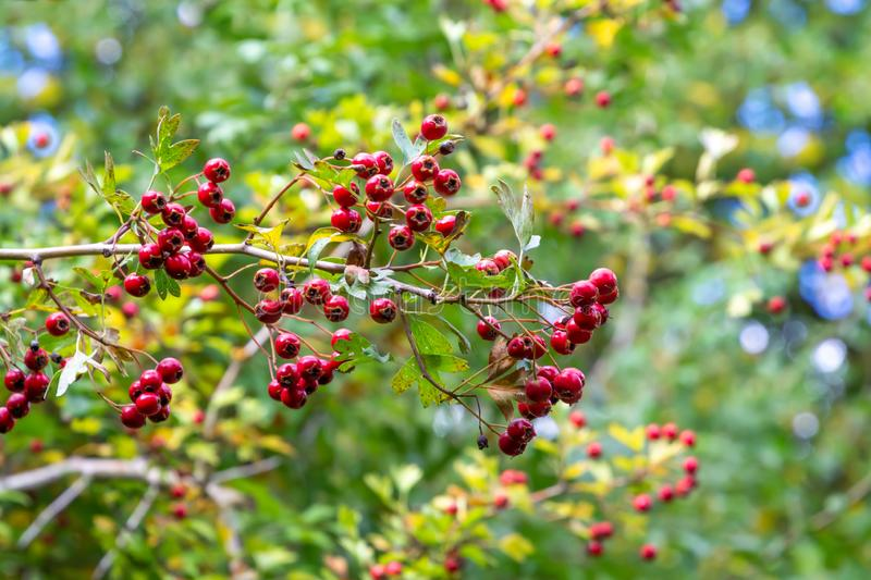 Red autumnal wild fruits. Beautiful hawthorn berries with vivid colors royalty free stock photography