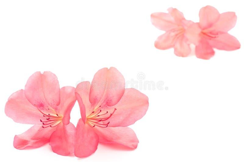 Red azalea stock image