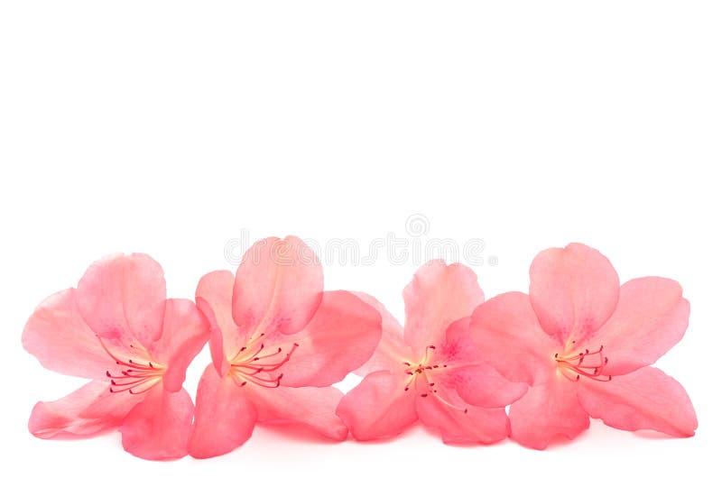 Red azalea royalty free stock image