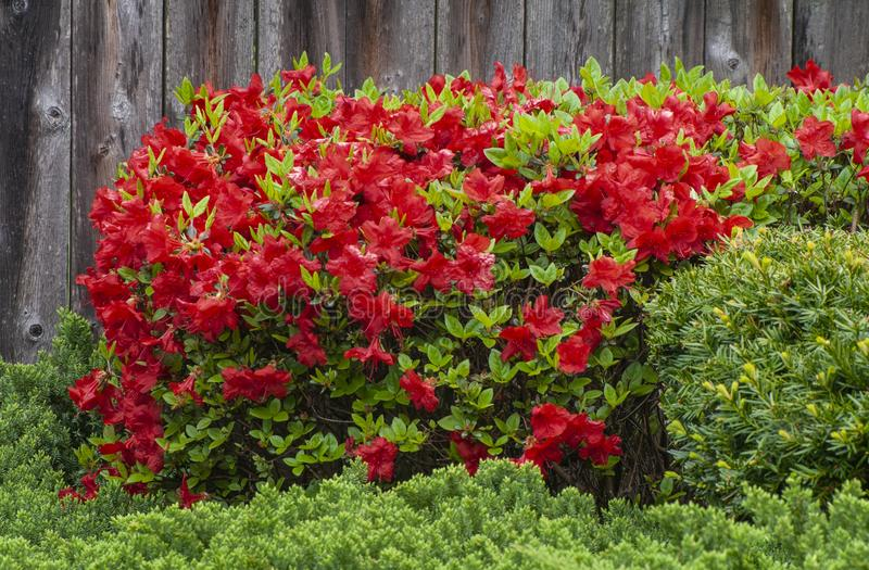 Red Azalea Bush royalty free stock images