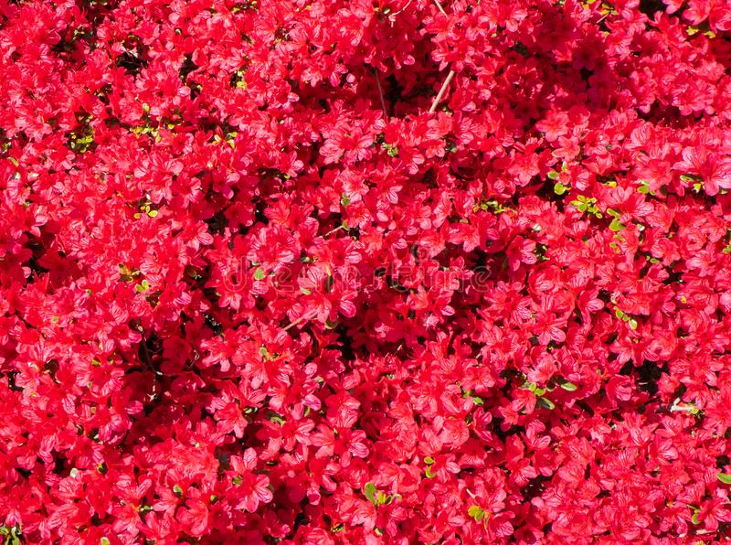 Red azalea in full bloom in spring. Time royalty free stock photos