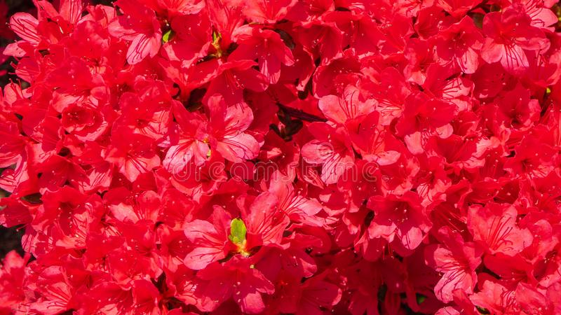Red azalea in full bloom in spring. Time royalty free stock images