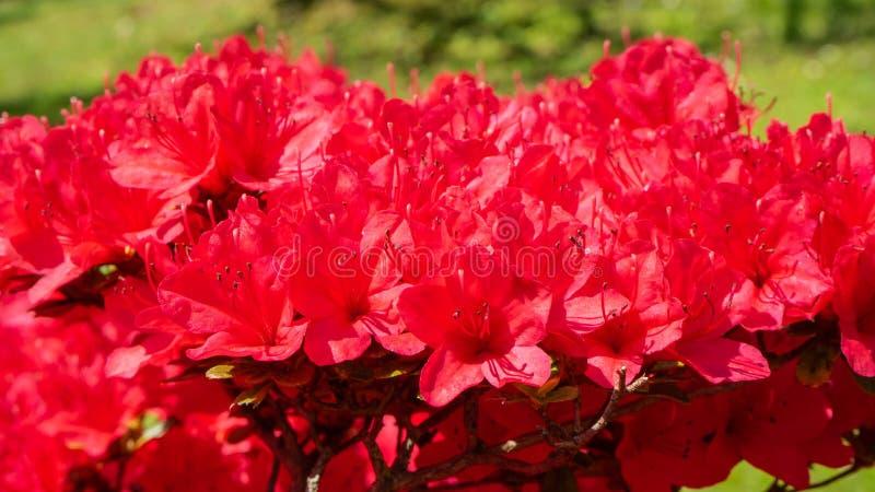 Red azalea in full bloom in spring. Time royalty free stock photo