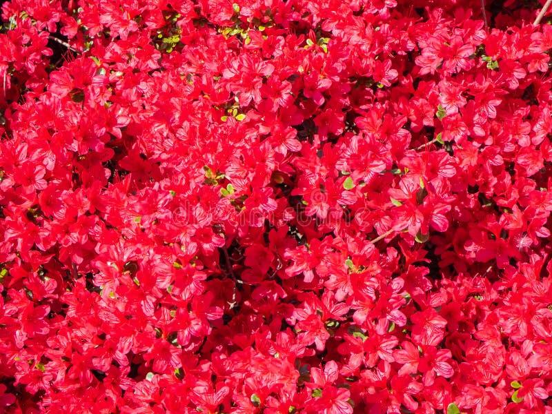 Red azalea in full bloom in spring. Time stock photos