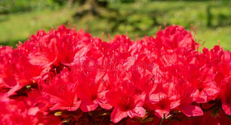 Red azalea in full bloom in spring. Time royalty free stock image