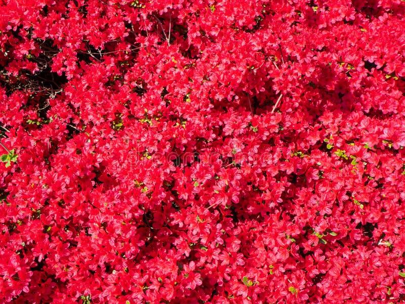 Red azalea in full bloom in spring. Time stock images