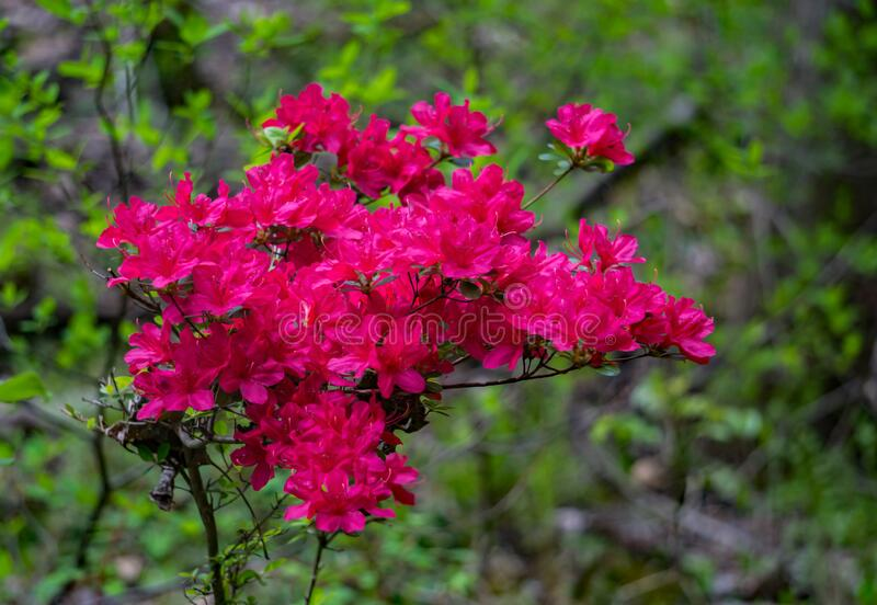Red Azalea wildflowers. A group of red azalea wildflowers located in the mountain park in the Appalachian Mountains of Western Virginia, USA royalty free stock images
