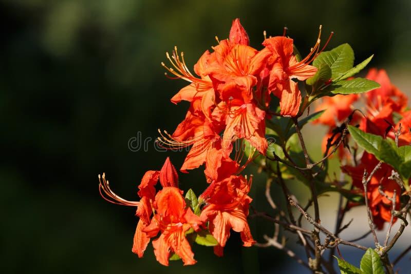 Red azaleas blooms in spring garden royalty free stock photo