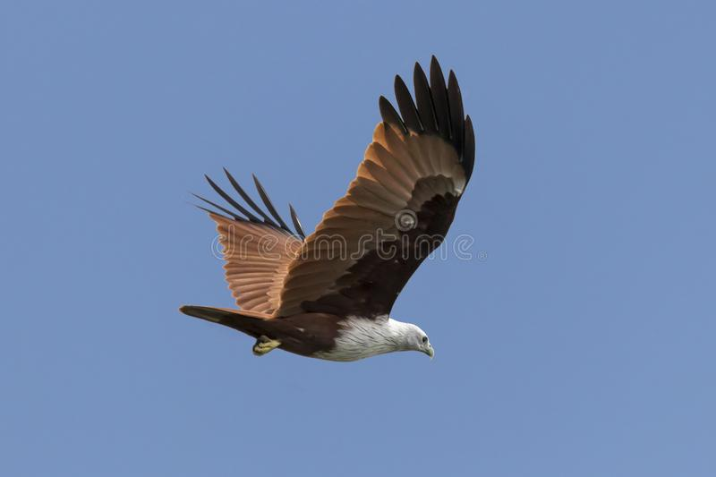 Red backed sea eagle in the sky from Kerala India. A beautiful Haliastur indus or red backed sea eagle in the sky from Kerala India