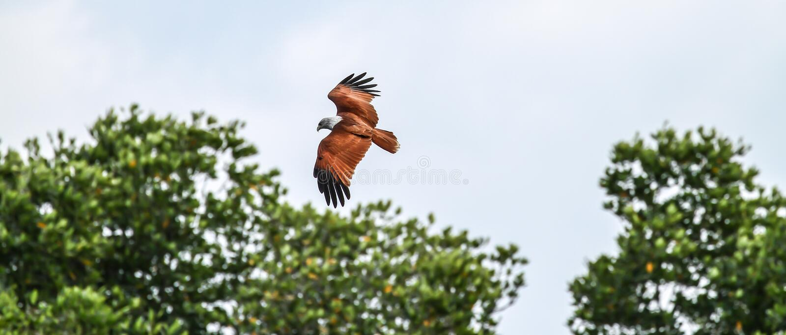 Red backed sea-eagle royalty free stock photo