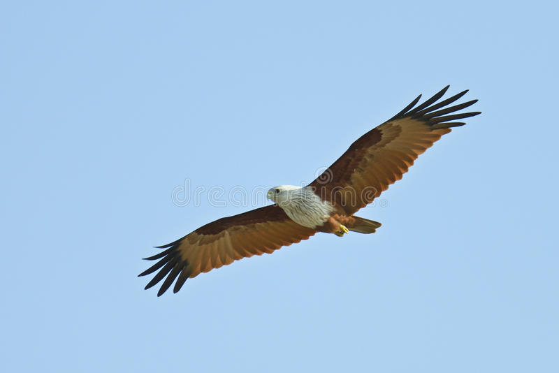 Red backed sea-eagle royalty free stock image