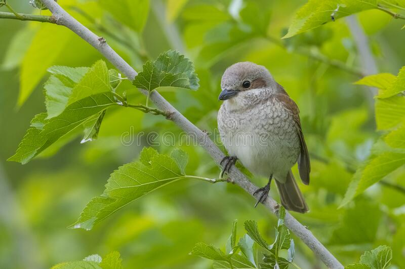 Red backed Sheike (Lanius collurio) is a bird species that feed on insects. stock images
