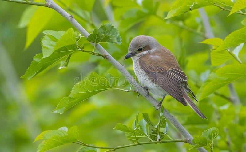 Red backed Sheike (Lanius collurio). Is a bird species that feed on insects royalty free stock image