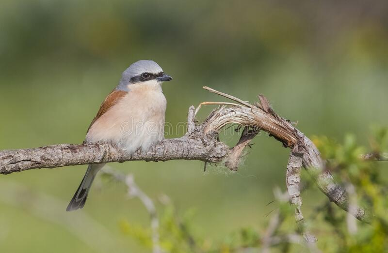 Red-backed Shrike  (Lanius collurio). Is a humter bird stock photo