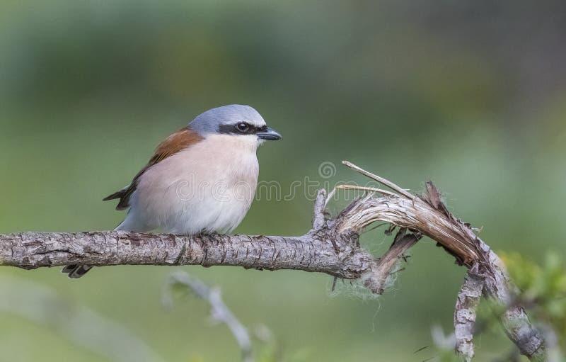 Red-backed Shrike  (Lanius collurio) is a humter bird. stock photos