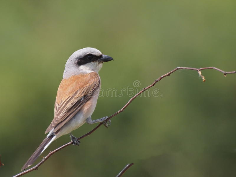 Download Red backed Shrike stock image. Image of photo, closeup - 20340889
