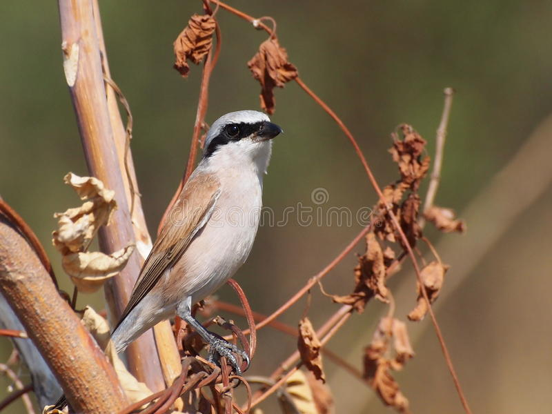 Download Red Backed Shrike Royalty Free Stock Photos - Image: 26193818