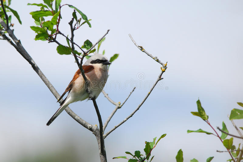 Shrike on a branch. Red-Backed Shrike on a branch royalty free stock images