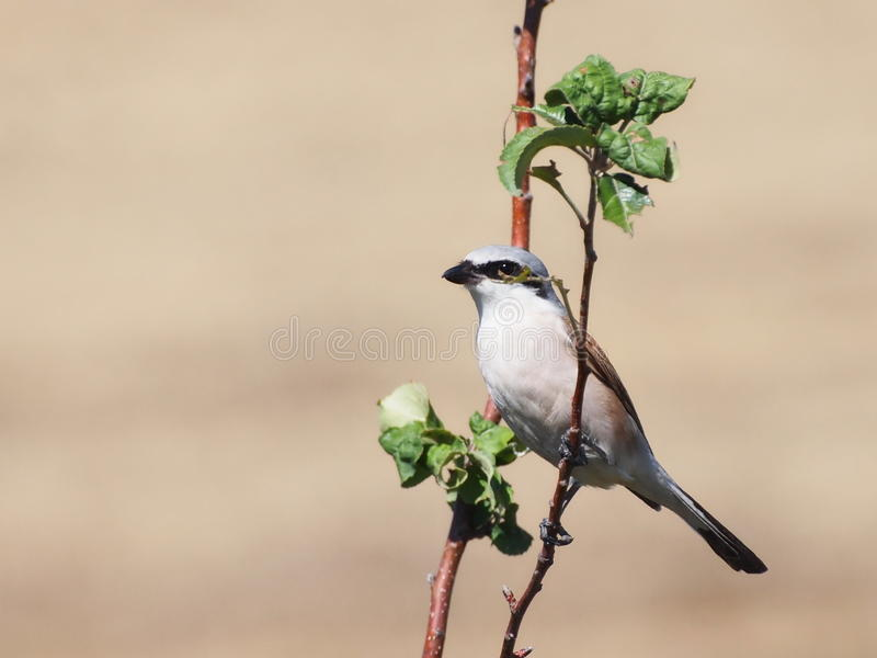 Download Red backed Shrike stock image. Image of beauty, backed - 33437423