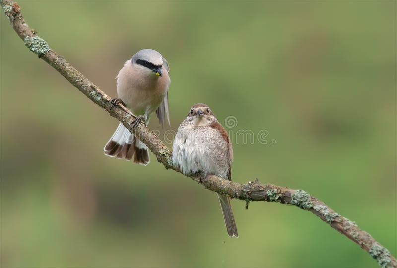 Red-backed shrike diving a treat to his beloved female royalty free stock photos