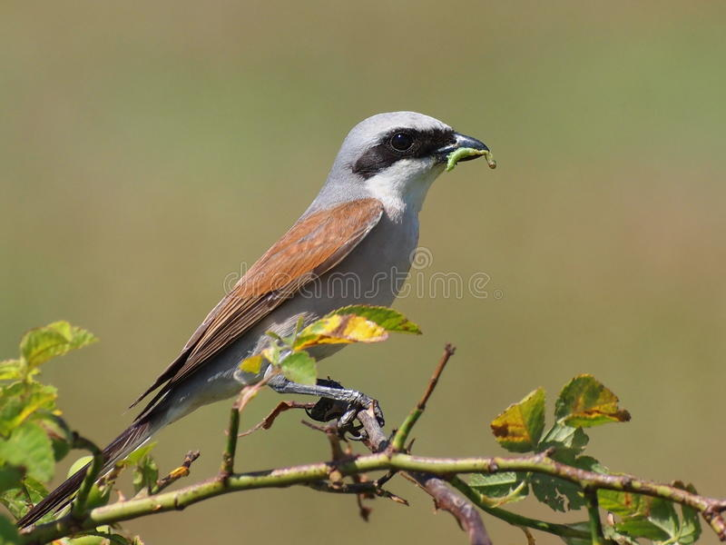 Download Red Backed Shrike With Green Caterpillar Prey Stock Photo - Image: 25360992